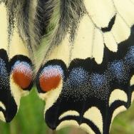 Vlindervleugel (Koninginnepage)