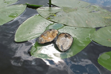 Plompbladeren door meerkoet gebruikt als eettafel voor zwanemossels