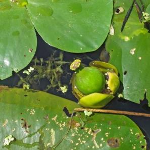 Vrucht van de gele plomp