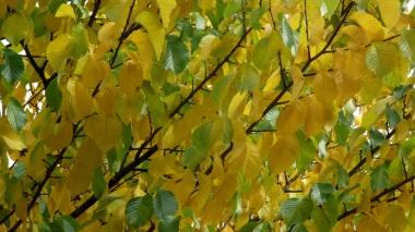 Gewone herfstverkleuring