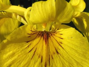 Gele lis met honingmerk: de vlekken en strepen 'lezen' bijen en hommels als de route naar nectar