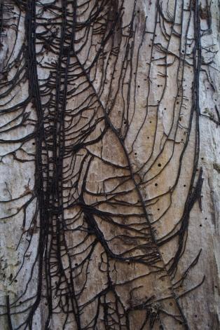 Bundels van schimmeldraden die tussen hout en bast zijn gegroeid